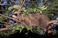 Raccoon sleeps straddling a tree branch, Missouri USA