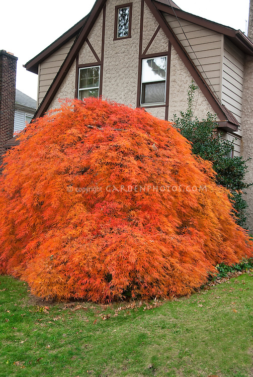 Japanese maple fall foliage tree in weeping form in front of house