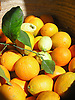 fresh organes and lemons from the S&oacute;ller valley in a basket<br /> <br /> Naranjas y limones frescos del valle de S&oacute;ller en una cesta <br /> <br /> frische Orangen und Zitronen aus dem S&oacute;ller-Tal in einem Korb<br /> <br /> 2481 x 1860 px