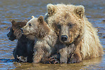 Brown bear and cubs, Katmai National Park, Alaska, USA
