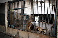 .CHINA. Hubei Province. Wuhan. A lion in an enclosure in Wuhan zoo. In many of China's 'second-tier' cities, away from the modern zoos in the megacities of Beijing and Shanghai, hide a plethora of smaller unknown zoos. In these zoos, what can only be described as animal abuse is subtly taking place in the form of deprivation of light, space, sanitation and social contact with other animals. Living in awful conditions, these animals spend there days entertaining tourists who seem oblivious to the animals' plight and squalid existence. 2008.