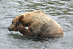 Alaskan brown bear bathing