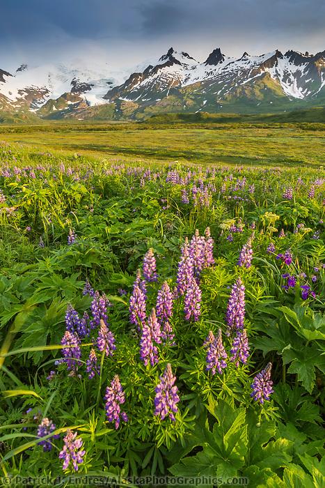Lupine wildflower meadow in Katmai National Park, Alaska Peninsula, southwest Alaska. Aleutian mountains in the distance.
