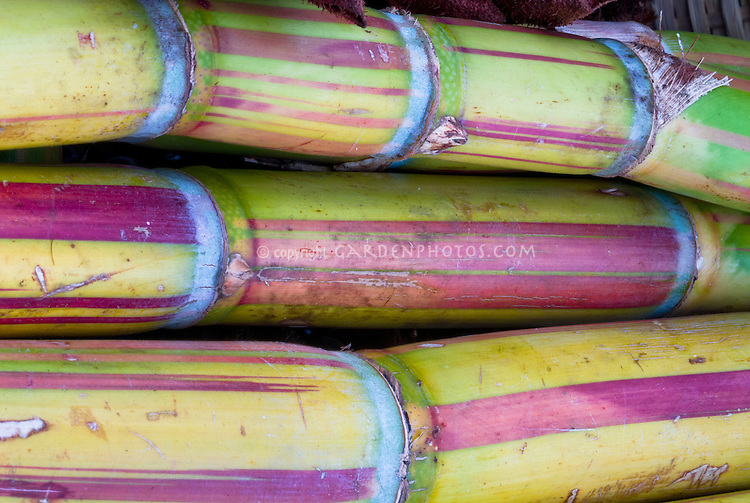 Saccharum officinale Sugar Cane stalks closeup detail of several lengths