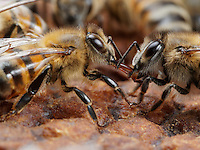 Wonderful Trophallaxis betwen honeybees on comb