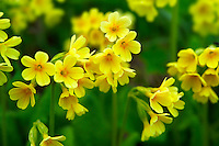 Alpine Oxslip  ( Primula elatior ) - Bernese Alps Switzerland