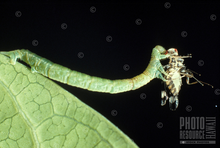The native carnivorous caterpillar insect eupitheccia orichloris, also known as the inch worm