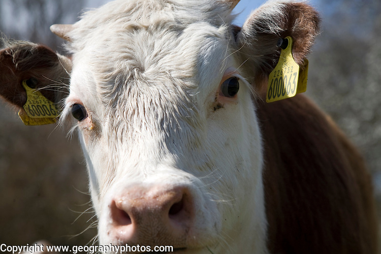 Calf with ear tags in a herd of pure Hereford cattle at Boyton marshes, Suffolk, England
