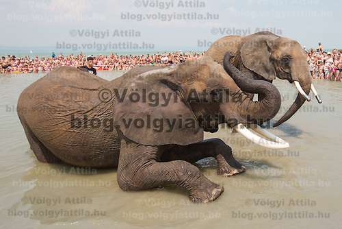 Circus elephants of the Caselly Family take a bath in lake Balaton in promotion of the Circus Night event at Balatonlelle (about 140 km South-West of capital city Budapest), Hungary on July 18, 2015. ATTILA VOLGYI