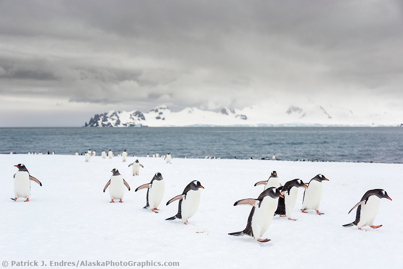 Yankee Harbor, Antarctic peninsula