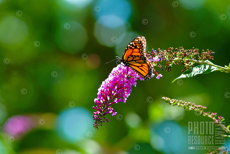 Monarch butterfly lands on purple flower at the Children's garden in Pearl City, Oahu