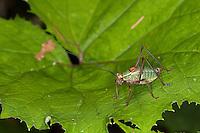 Laubholz-Säbelschrecke, Laubholzsäbelschrecke, Säbelschrecke, Männchen, Barbitistes serricauda, sawtailed bushcricket