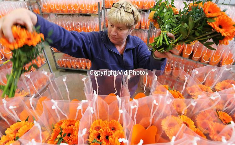 Foto: VidiPhoto..EDE - Het volk wil oranje, het volk krijgt oranje. Bloemkwekers en bloemisterijen spelen handig in op de troonwisseling van 30 april. Oranje of rood-wit-blauwe bloemen en planten in allerlei vormen en maten zijn haast niet aan te slepen. Kwekers zijn woensdag volop aan het oogsten of stellen combinaties samen. Op Bloemveiling Plantion in Ede worden woensdag duizenden oranje planten of boeketten verhandeld en verwerkt, bestemd voor met name de Nederlandse supermarkten. Omdat Plantion met name aan de binnenlandse markt levert, is daar het meeste oranje te vinden. Buitenlandse afnemers hebben nauwelijks belangstelling. Foto: Het samenstellen van oranje boeketten bij Plantion.