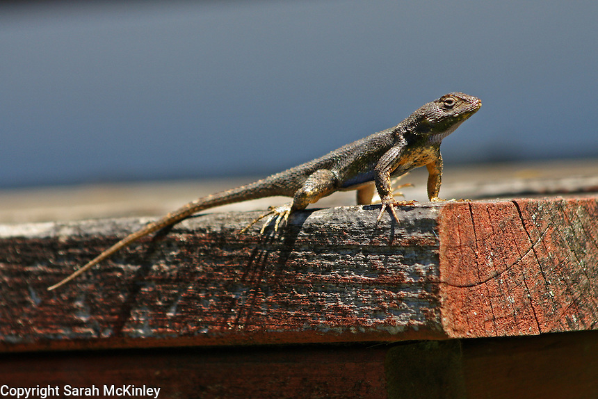 A blue-bellied lizard suns itself on a weathered wood porch and its long toes cast even longer shadows.