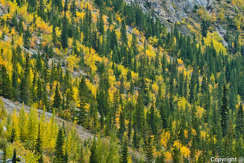 Autumn colors at WIlcox Pass.  Icefields Parkway.<br />
