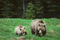 Grizzly bear sow with cub (Ursus arctos), Northern Rockies.  Spring.