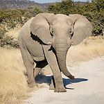 An Elephant Heads To A Waterhole.