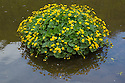 Marsh Marigold (Caltha palustris) in flower in the River Wye, Monsal Dale, Peak Distict National Park, Derbyshire, UK. May.