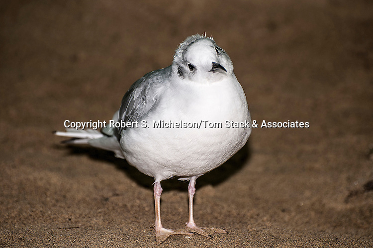 bonapartes gull, full body view looking at camera