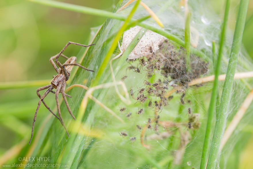 Nursery Web Spider {Pisaura mirabilis} mother on nursery web with newly emerged spiderlings. Peak District National Park, Derbyshire. UK. July.