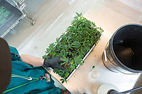 """A worker tends to cannabis plant cuttings in the clone room at the production and packaging facility for Garden Remedies, a medical cannabis producer, in Fitchburg, Massachusetts, USA, on Fri., Feb. 22, 2019. Cuttings from """"mother"""" plants are harvested and replanted to create clones of productive plants. These cuttings are carefully taken care of to encourage root growth before being taken to the grow rooms at the facility."""