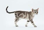 Australian Mist Cat - Brown Marble Colour - 6 months old, Female