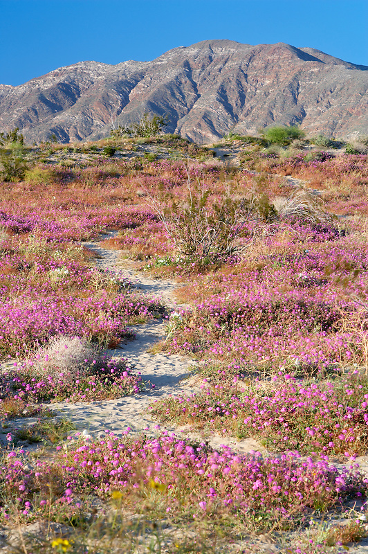 Trail in Dune Evening Primrose and Sand Verbena. Anza Borrego Desert State Park, California
