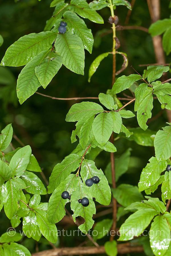 Schwarze Heckenkirsche, Geißblatt, Früchte, Lonicera nigra, black berried honeysuckle, black-berried honeysuckle, Black Honeysuckle, Geißblattgewächse, Caprifoliaceae