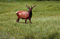 Elk, Yellowstone National Park, Montana
