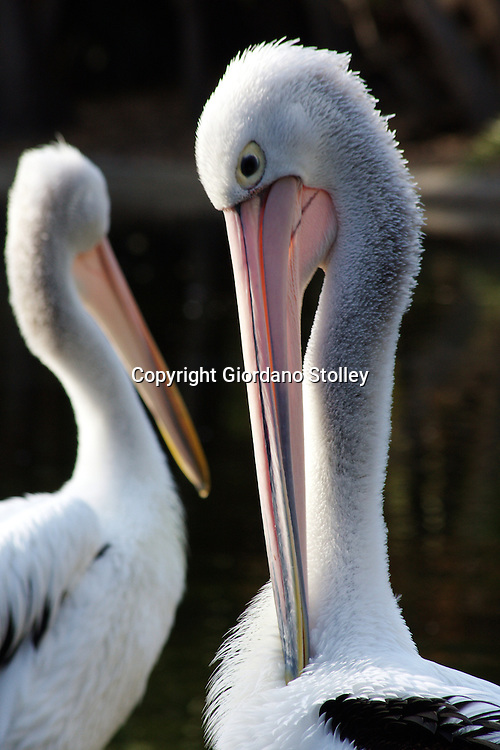 PERTH - 4 April 2010 - An Australian Pelicans prrening themselves at Perth Zoo. The Australian Pelican has the longest bill of any bird and is believed to be the most populous of all pelican species. Picture: Giordano Stolley