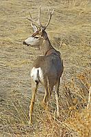 Mule deer buck in Roxborough State Park, Colorado