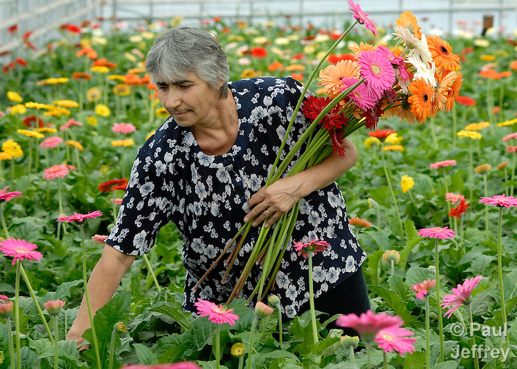 Rita Manukyan harvests flowers in her greenhouse in Hovtashat, Armenia. She participated in an agricultural training program sponsored by the United Methodist Committee on Relief..