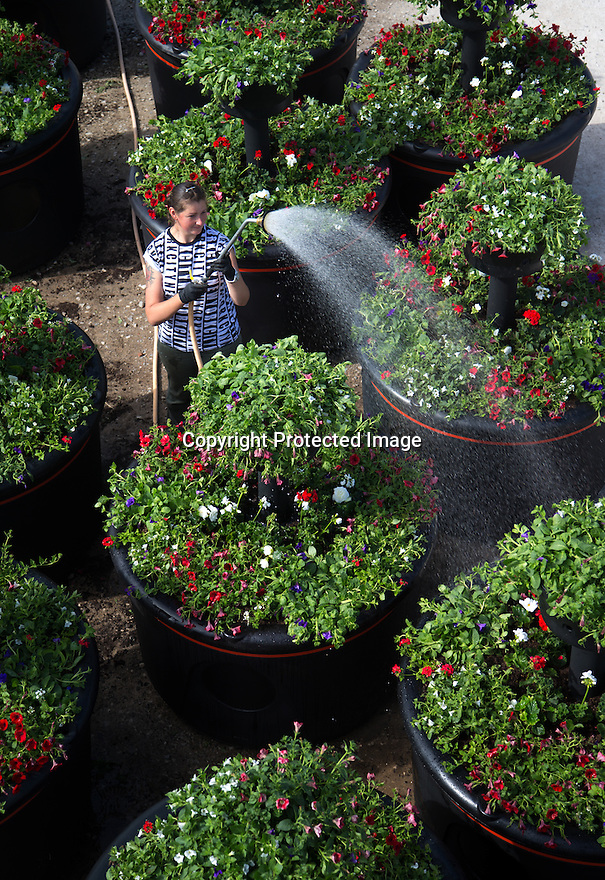 22/05/15<br /> <br /> Raminta Mazuraityte , 29, waters the pots before they are sent to Liverpool.<br /> <br /> It's been 'all hands on deck' for a nursery fulfilling a titanic order for 20 giant, four-tiered, planters containing 2,400 red white and blue flowering plants that will arrive on the dockside in Liverpool today to mark the 175th anniversary of Cunard. <br /> <br /> Plantscape, in Hulland Ward, Derbyshire only had two week's notice to prepare the order for the planters known as Eye-Full Towers. <br /> <br /> Each one will be topped-up with 300 litres of water and will weigh-in at a staggering 850 kg. They will be in position in-time for the arrival of The three Royal Cunard ships known as the 'Three Queens' which are are scheduled to make an historic appearance as a trio in the Mersey for the first time this bank holiday weekend.<br /> <br /> The giant planters have all been planted with geraniums, verbenas, surfinias and Trailing Begonias. The huge interlinked plastic containers were moulded specially for this order and three of the nursery's staff have been working tirelessly to get the order completed before all the planters were loaded onto three giant articulated lorries last night.<br /> All Rights Reserved: F Stop Press Ltd. +44(0)1335 418629   www.fstoppress.com.