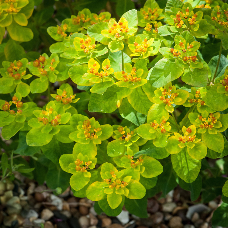 Euphorbia polychroma (syn. Euphorbia epithymoides), late May. Many-coloured or Cusion Spurge bears dense, flattened yellow flowers in spring.