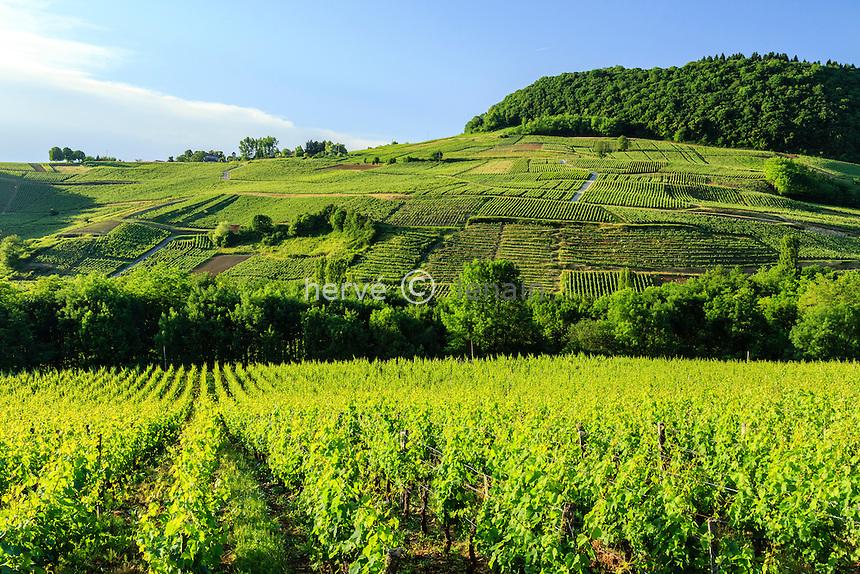 France, Jura (39), Ch&acirc;teau-Chalon, vignoble de l'appellation ch&acirc;teau-chalon (AOC) // France, Jura, Chateau Chalon, labelled Les Plus Beaux Villages de France (The Most beautiful<br /> Villages of France), vineyard appellation d'origine controlee Chateau Chalon (controlled designation of origin)