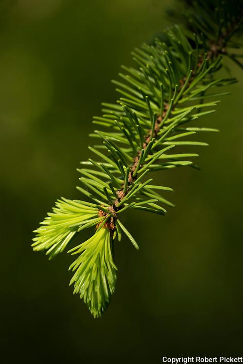 Scots pine, Pinus sylvestris, needles, new growth, Bonsai Bank, Denge Woods, Kent UK