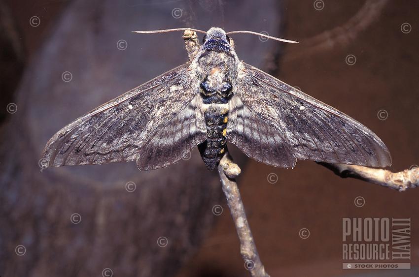 endangered Aiea hawk moth (Manduca blackburni)resting on Aiea plant, originally found on all islands