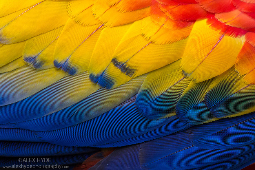 C;lose up of feathers of a Scarlet Macaw (Ara macao) Osa Peninsula, Costa Rica, May.