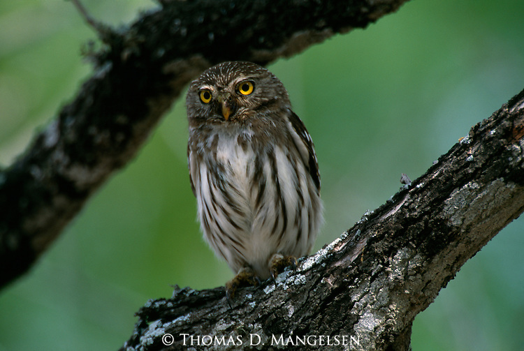 Ferruginous Pygmy Owl perched in a tree in Texas.