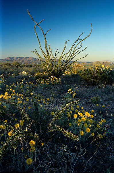 Ocotillo and Desert Marigold, Chihuahuan desert, Big Bend National Park,Texas, USA