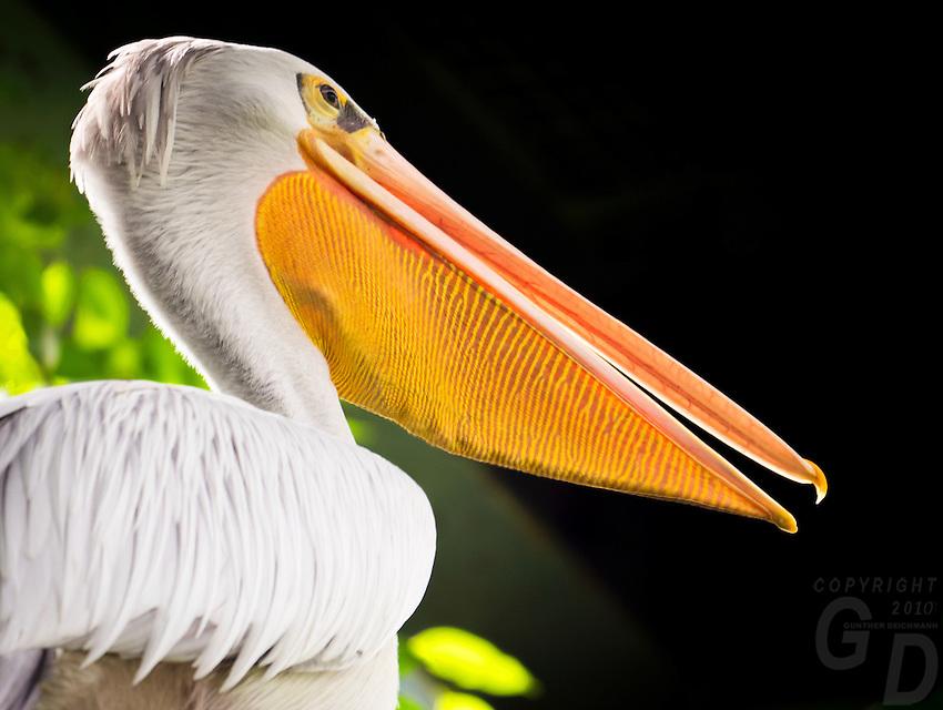 Pelican at the Wildlife and Bird Sanctuary Langkawi, Malaysia