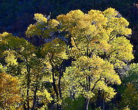 I am a sucker for cottonwood trees. I love their lanky form and find them beautiful and deeply mysterious during any season. I caught this image as morning light streamed through a dry wash east of Park City, Utah. October 2012