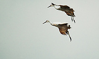"""Sandhill Crane Migration G1D_0050""  Aldo Leopold Foundation  Wisconsin River 