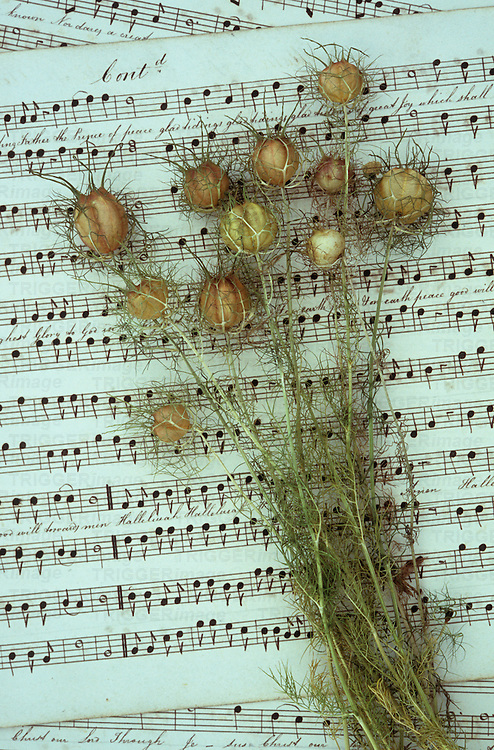 Dried hairy seedheads and stems of Love-in-a-mist or Nigella damascena lying on sheet of music with handwritten notation and words of song