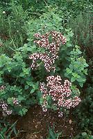 Oregano herb in flower, Origanum vulgare, culinary plant