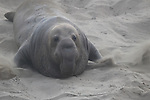Bull elephant seal moving at Ano Nuevo State Park