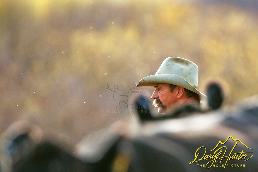 Working cowboy, Cattle Drive, Alpine Wyoming. My photos are not to be used for anti public land ranching interests. The cowboys of the west are under assault because many don't like to see their cows on public land. I have written a couple of articles articulating the problem.