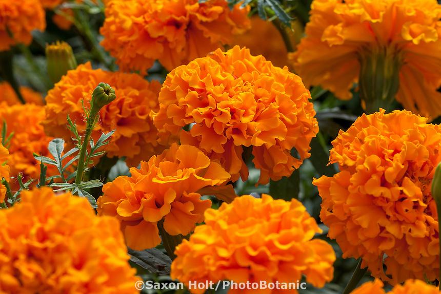 tagetes erecta savannah sun orange flowering marigold at california spring trials 2015