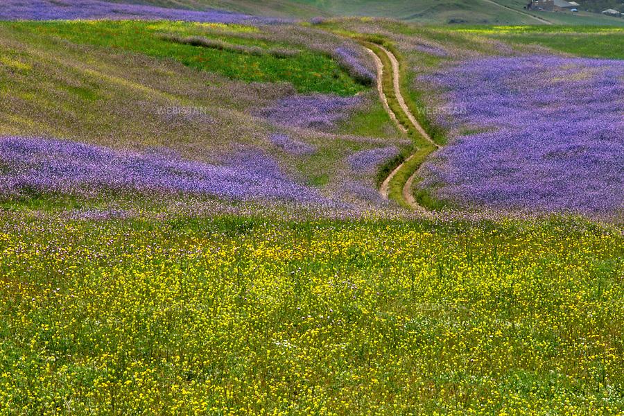 Azerbaijan, Lerik District, June 1, 2011<br /> Wild flowers grow on the foothills of the mountain around a cleared path used by farmers in Lerik, a district in southern part of Azerbaijan, near the Iranian border. This mountainous area has earned a reputation as the &ldquo;home of people who live to a great age.&rdquo;<br /> <br /> Azerba&iuml;djan, district de Lerik, 1er juin 2011 <br /> Fleurs sauvages le long d&rsquo;un sentier utilis&eacute; par les agriculteurs, sur les collines des montagnes Talysh. Situ&eacute; pr&egrave;s de la fronti&egrave;re iranienne dans le sud de l&rsquo;Azerba&iuml;djan, ce district montagneux est connu comme &eacute;tant &laquo; la terre de ceux qui vivent &acirc;g&eacute;s &raquo;.