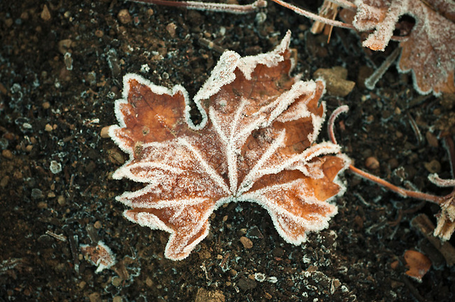 Grapevine leaf in winter